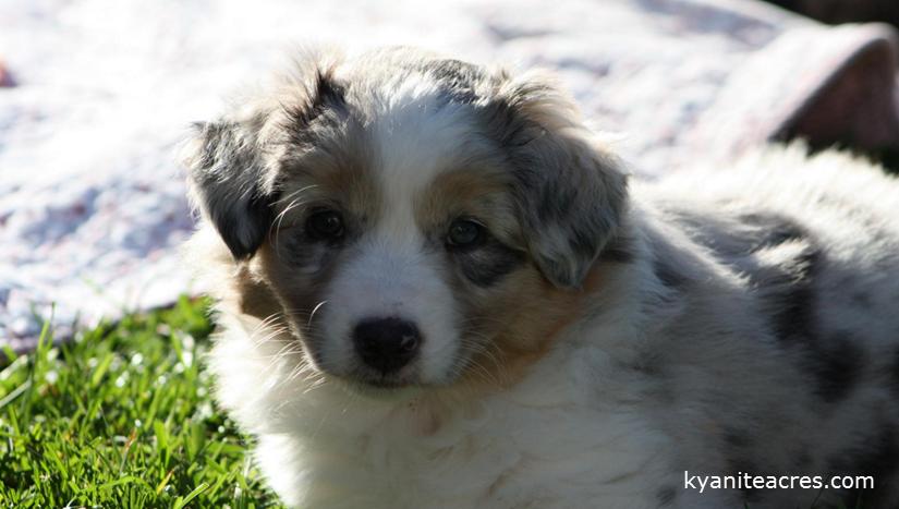 kyaniteacres dogs